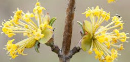 kornoelje-in-bloei