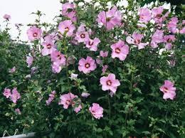 tuinhibiscus-volle-bloeiende-struik
