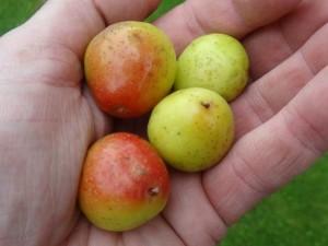 vrucht-van-peerlijsterbes