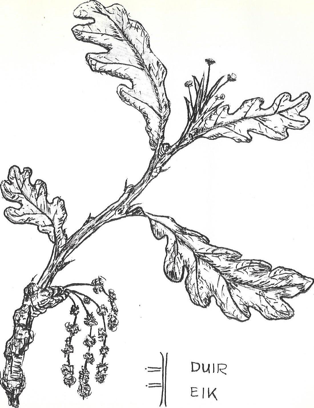 EIK  de vader van het woud, met eetbare blad en heel veel eikels