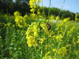 honingklaver een waardplant voor bijen
