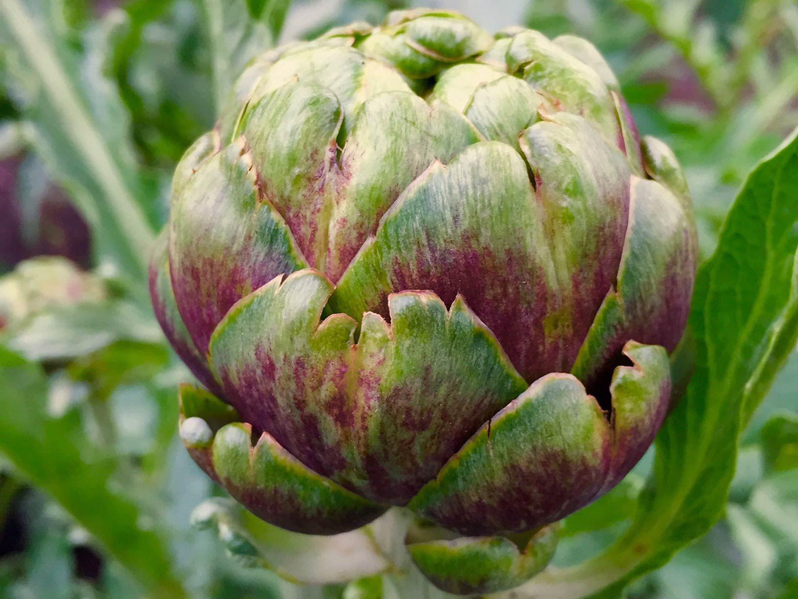 Als je een warme (moes-)tuin hebt, plant dan een ARTISJOK