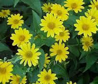 bloem-aardpeer