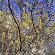 katjes-van-de-hazelaar-vroeg-in-het-voorjaar