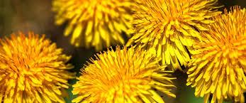 paardenbloem-bloemen