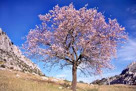 roze-amandelboom