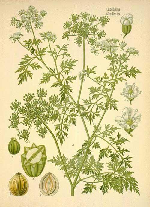 petroselinum-crispum-oude-prent