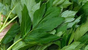 blad-engelwortel