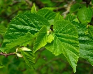 blad-zwarte-moerbei