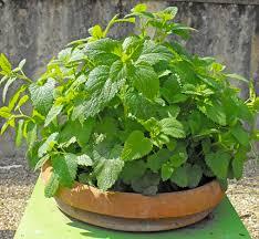CITROENMELISSE  een ideale plant voor vrijwel iedereen