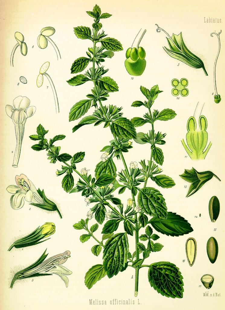 citroenmelisse-oude-prent