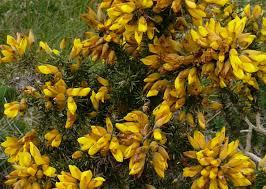 gaspeledoorn-bloeiend