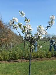 jonge-kersenboom
