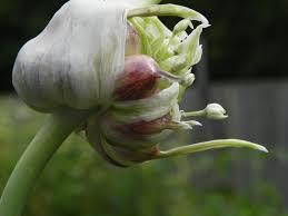 knoflook-bloem-met-broedknolletjes