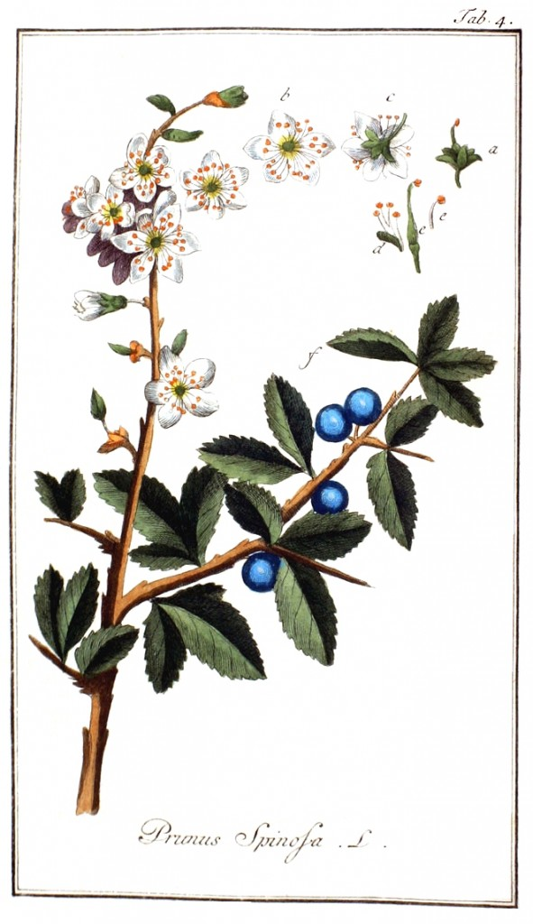prunus-spinosa-botanisch-oude-prent