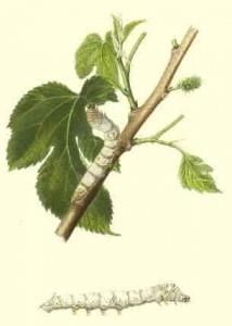 witte-moerbei-en-zijderups