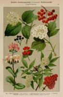 gelderse-roos-oude-prent-2