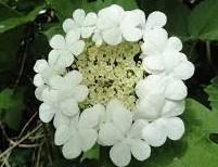 gelderse-roos-bloem