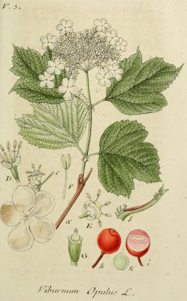 gelderse-roos-oude-prent
