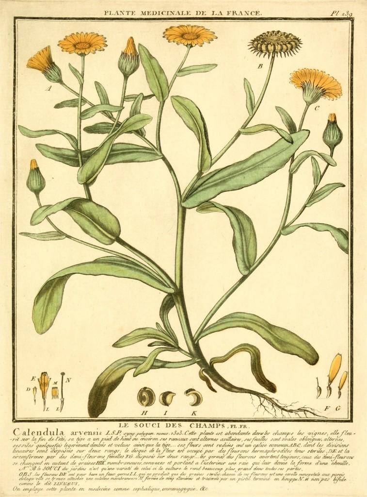 wilde veld goudsbloem: een zeldzame plant in ons land