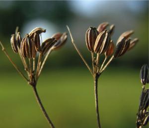 anijszaad-aan-de-plant