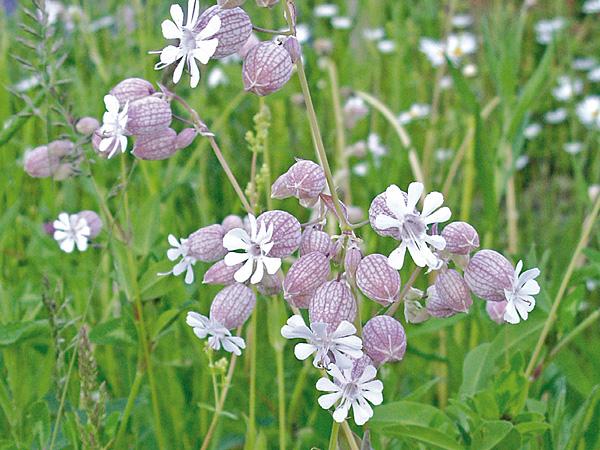 blaassilene-bloem
