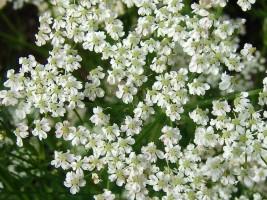 bloem-karwij-3