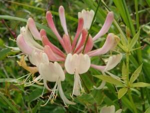 bloem-van-kamperfoelie-1