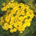 bloemen-boerenwormkruid