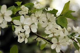 bloeiende kerspruim
