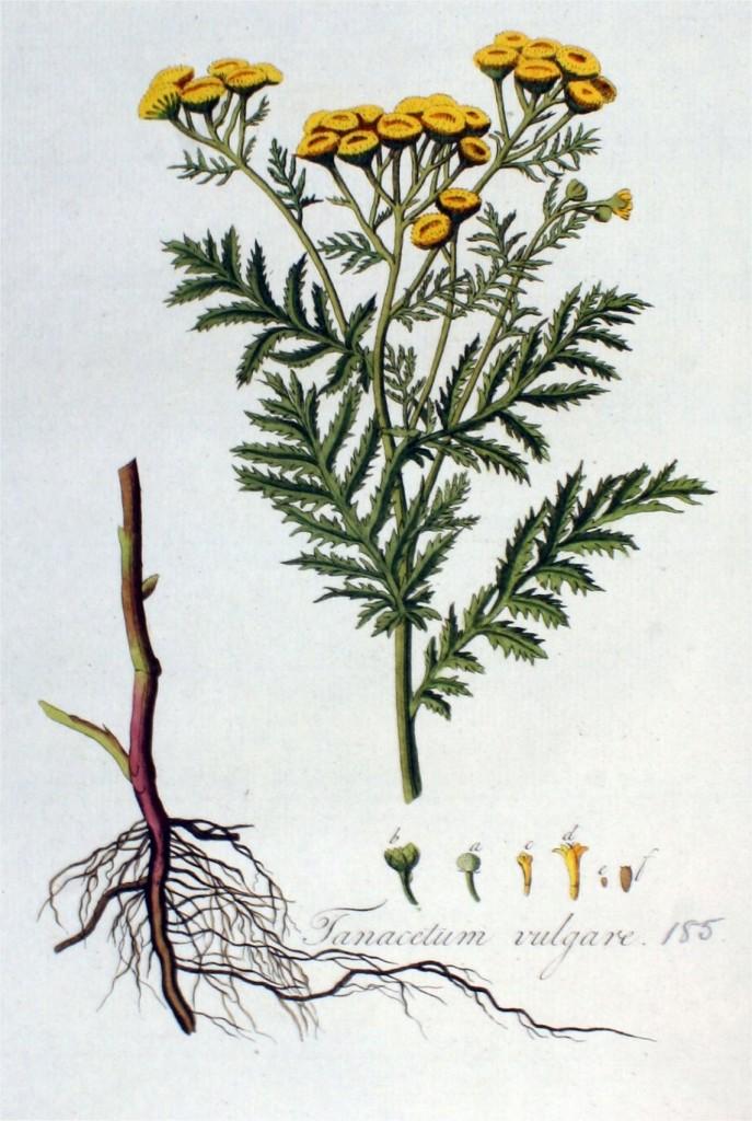 boerenwormkruid-oude-prent-3