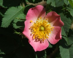 bottelroos-bloem