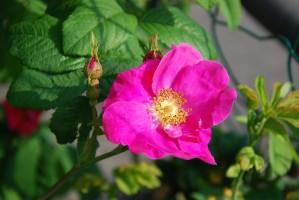franse-roos-bloem