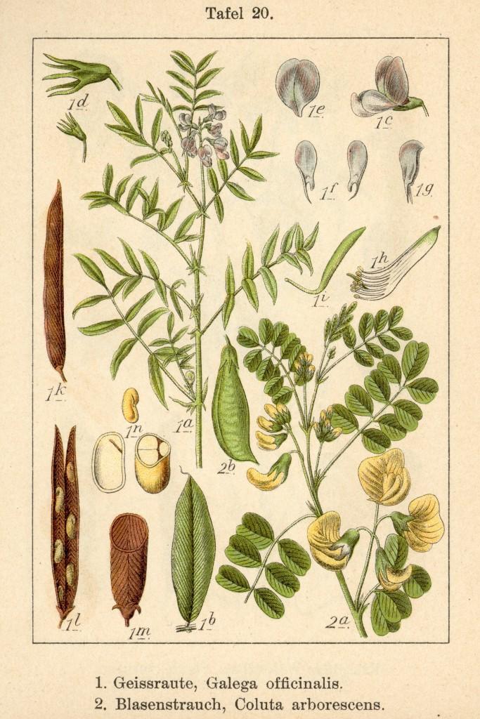 geitenruit-oude-prent