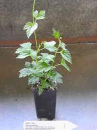 hop-plantje