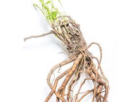 hop-wortel