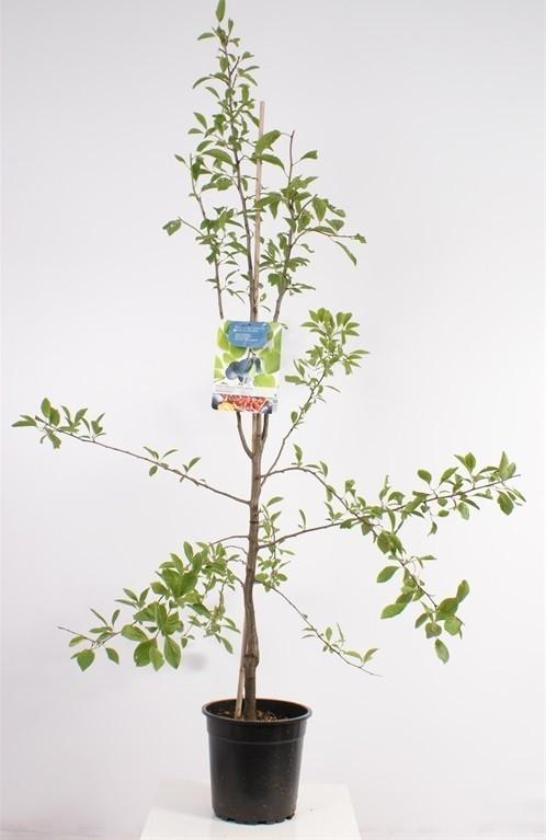 jonge-pruimenboom