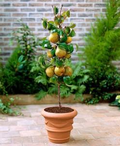 een perenboom in een pot, ook geschikt voor op je balkon