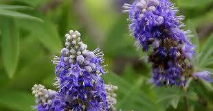 monnikspeper-bloem