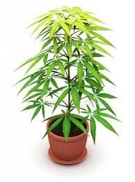 monnikspeper-jonge-plant