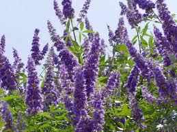 monnikspeper-planten