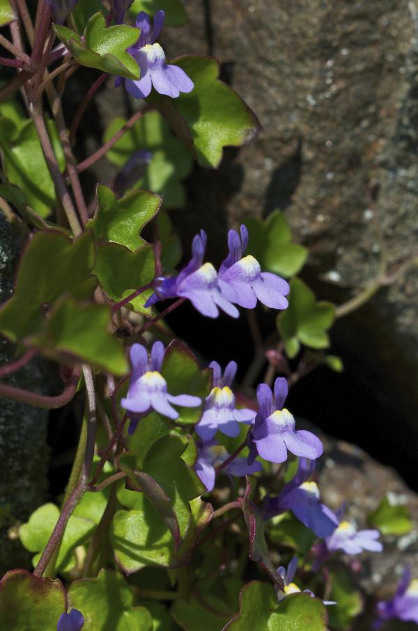 MUURLEEUWENBEK   is meer dan een mooi plantje voor je muur