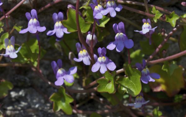 muurleeuwenbek-bloemen