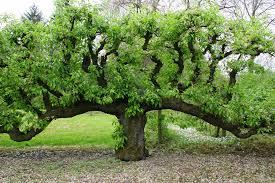 oude-perenboom