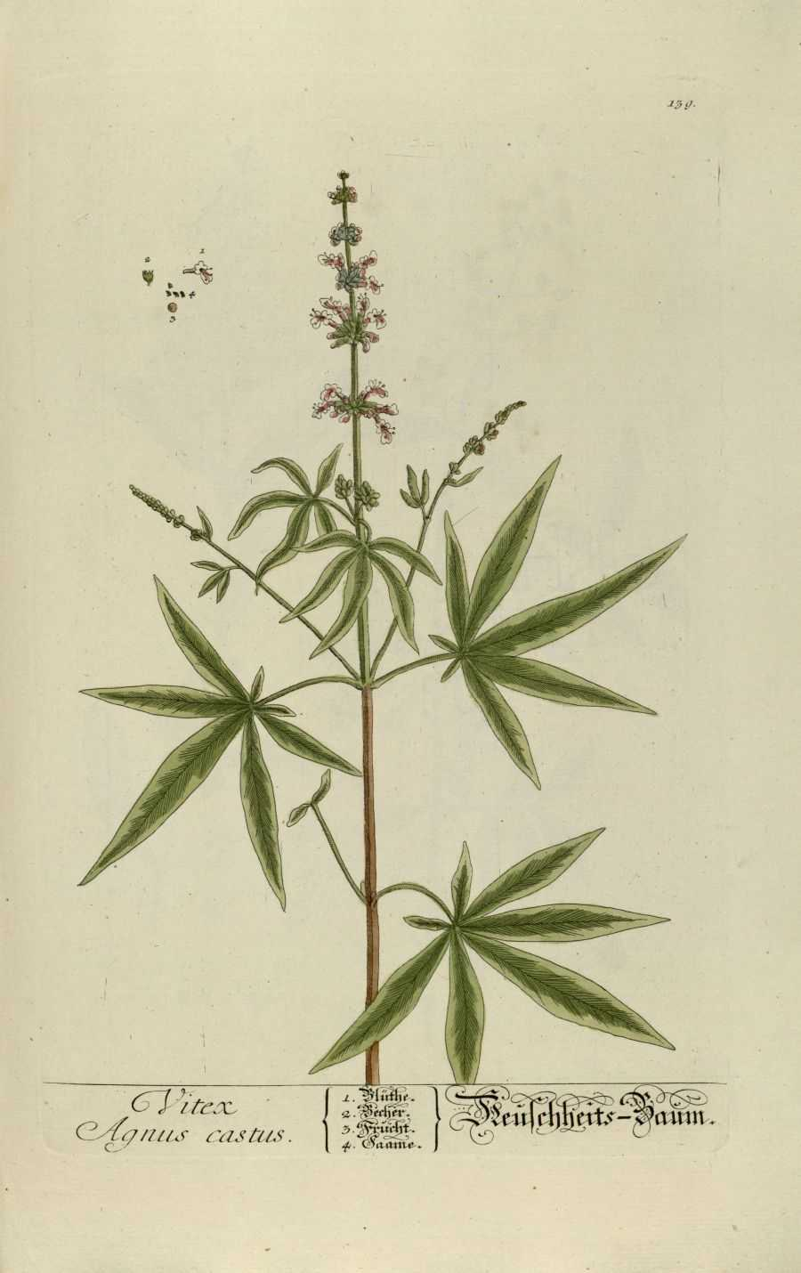 vitex-agnus-castus-botanische-prent