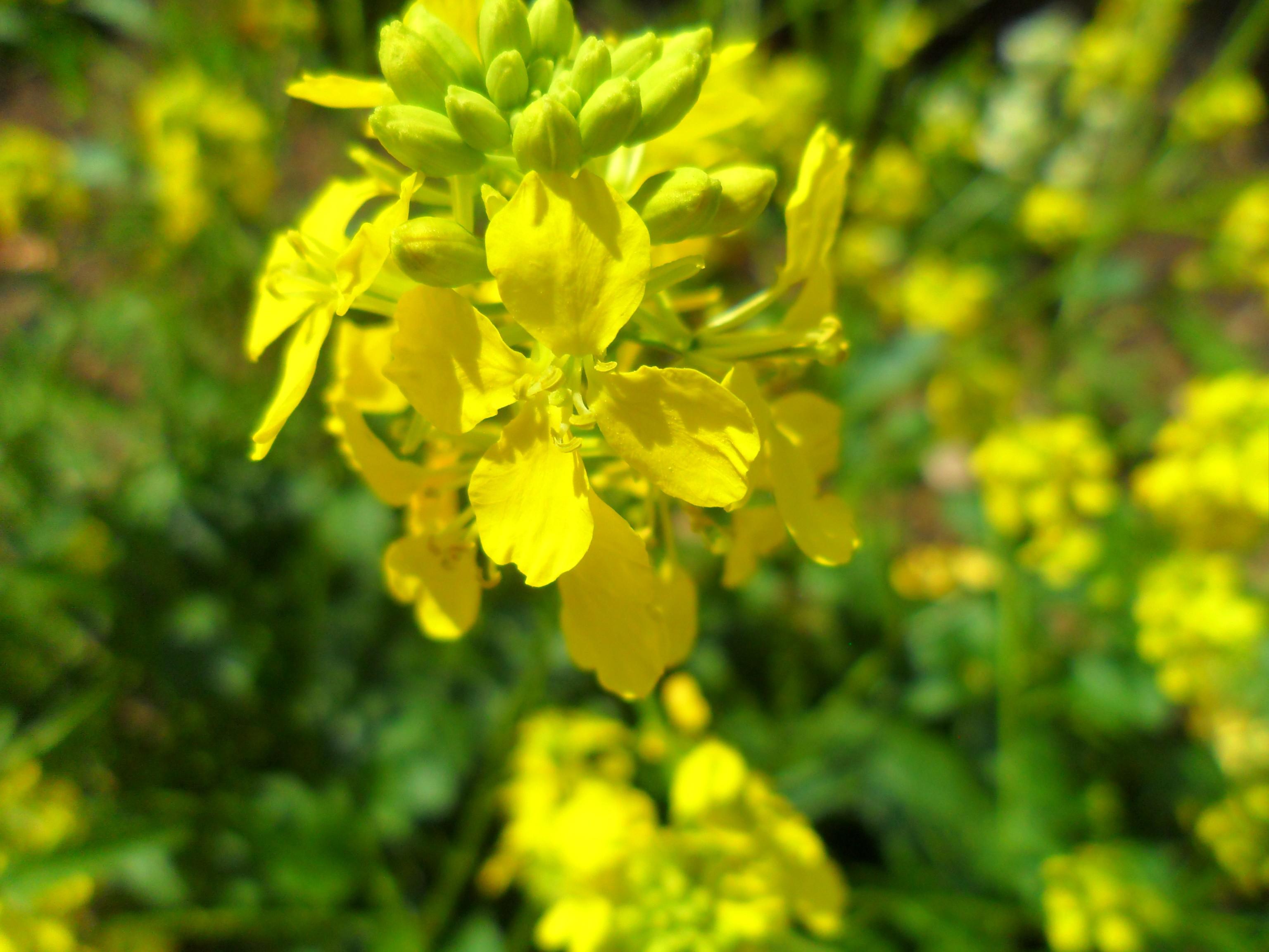AKKERMOSTERD    een goede plant voor bijen en vlinders
