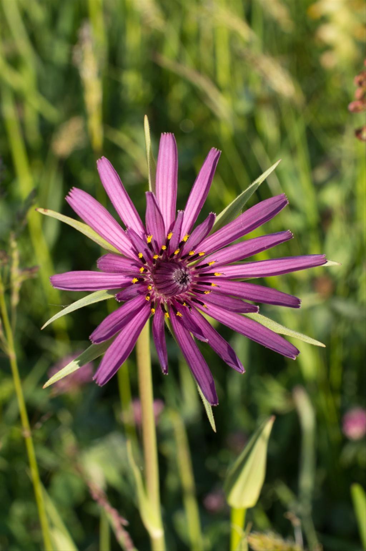 HAVERWORTEL met een paarse bloem in de ochtend welkom geheten te worden is ook feestelijk