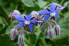KOMKOMMERKRUID alleen al om de mooie, blauwe bloemen moet je die zaaien