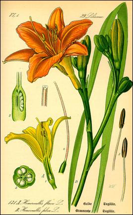 DAGLELIE een vaste plant in vrolijke kleuren en misschien wel de lekkerste, grote bloemen