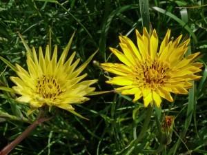 gele-morgenster-bloem